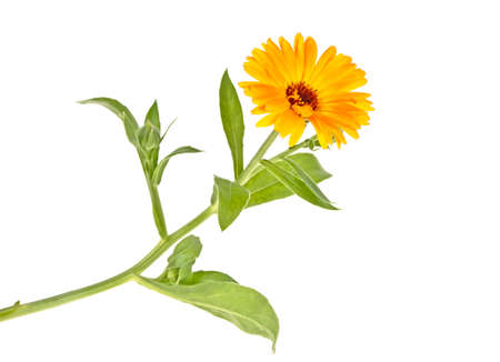 Marigold plant with leaves isolated on a white background. Calendula.