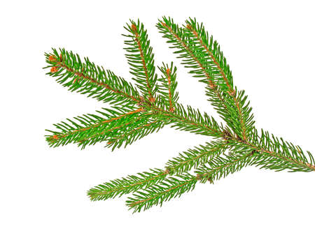 Green fir branch for christmas, isolated on white background