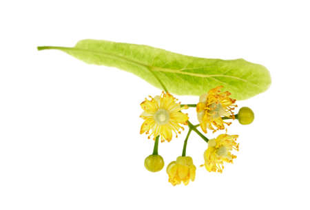 Isolated image of yellow linden flower on white background