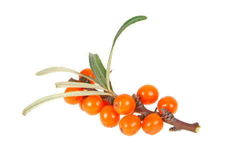 Sea buckthorn branch with berries isolated on white background Stock Photo
