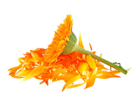 Flower and petals of calendula isolated on a white background