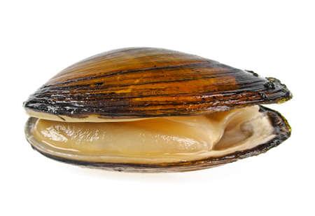 Single swan mussel on a white background Foto de archivo