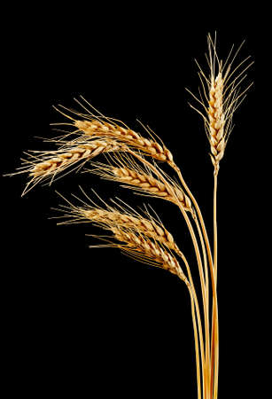 Spikelets of wheat on a black background Stock Photo