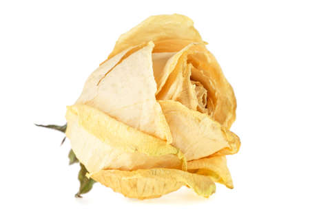 Dried white rose over white background. Faded rose.