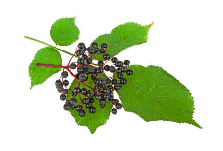 Twig of elderberries and leaves on a white background