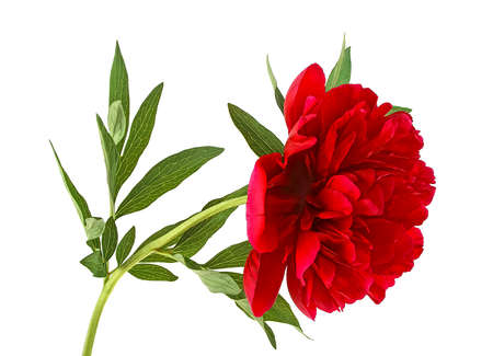 Red peony flower with leaves over white background