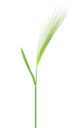 Green spikelet isolated on white background