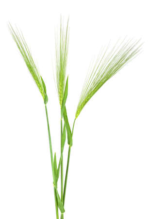 Three green spikelet of barley on white background