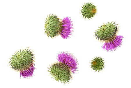 Milk Thistle flower isolated on white background, top view. Silybum marianum. Stock Photo