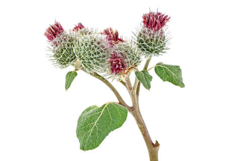 Burdock flowers isolated on a white background Stock Photo