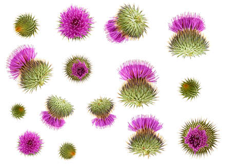 Set of different flowers milk thistle buds isolated on white background