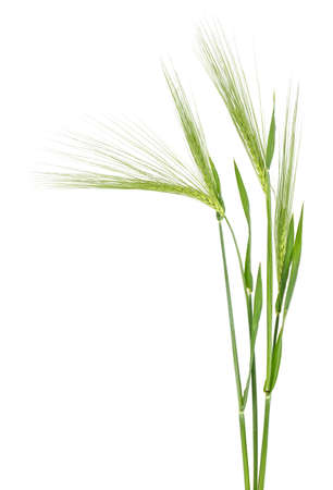 Green spikelet of barley on white background