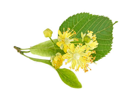 Blooming twig of limetree or linden tree, white background.