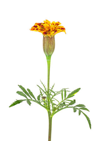 One flower of marigold isolated on white background 스톡 콘텐츠