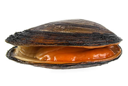 River mussel isolated on a white background
