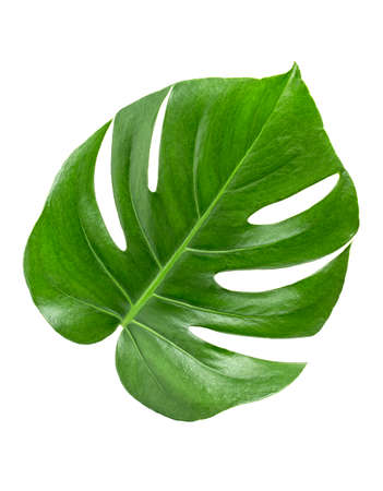 Green leaves pattern - monstera leaf isolated on white background. Top view.