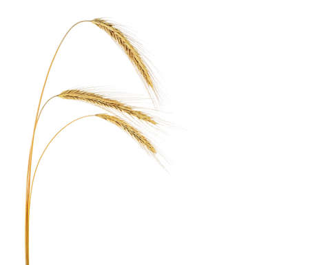 Ears of rye isolated on a white background