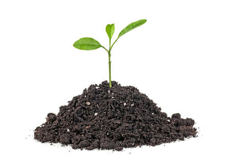 Green sprout growing out from soil isolated on a white background. Citrus plant.
