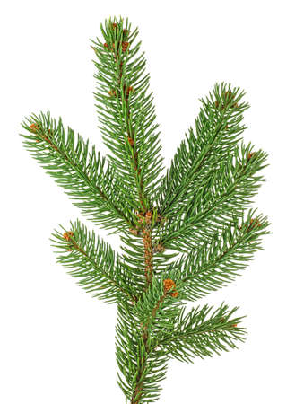 Fir tree branch isolated on white background. Pine branch. Christmas tree.