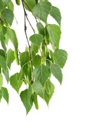 Rama joven de abedul con brotes y hojas aisladas sobre fondo blanco.