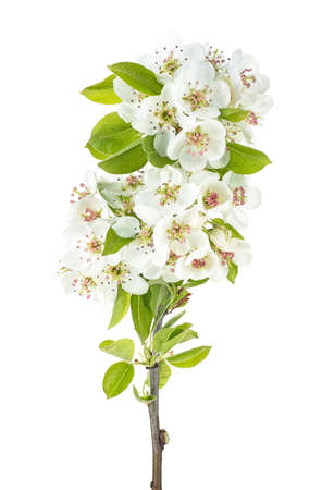 Branch of a blossoming pear tree isolated on white background