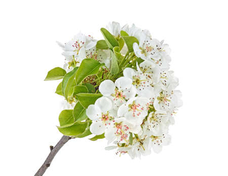 Spring flowers of pear isolated on a white background 免版税图像