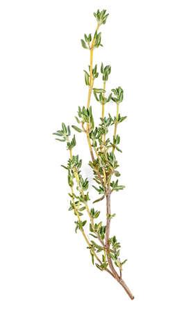 Herbe fraîche de thym isolé sur fond blanc