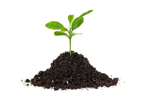 Concept of new life - small green plant growing from soil heap, white background.