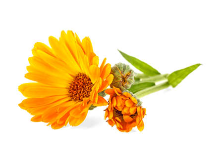 Calendula - Marigold flowers with leaves isolated on a white background. Stock Photo