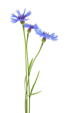 Blue cornflower flowers on a white background Zdjęcie Seryjne