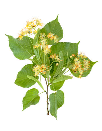 Flowers and leaves of linden isolated on a white background Stock Photo