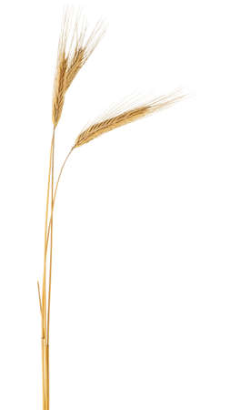 Spikelets of rye isolated on a white background