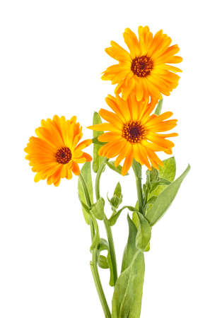 ouquet of yellow Marigold flowers isolated on a white background. Calendula officinalis.