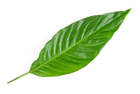 Leaf of tropical spathiphyllum plant isolated on white background