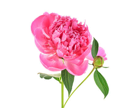 Rosa Pfingstrose mit grünen Blättern auf weißem Hintergrund