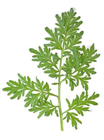 Liść piołunu na białym tle Zdjęcie Seryjne