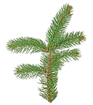 Fir tree branch isolated on white background Stock Photo