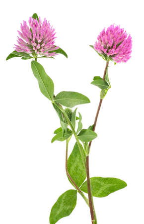 Clover flowers on a stem with green leaves, white background.