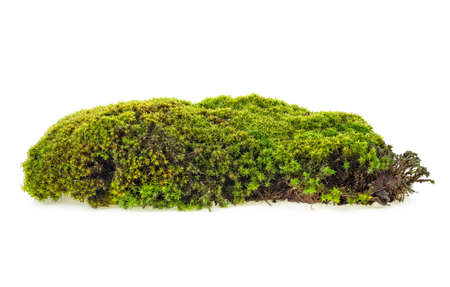 Green forest moss isolated on white background, closeup.