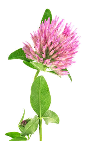 Clover flower on a stem with green leaves isolated on white background