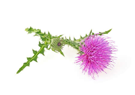 Thistle flower isolated on a white background