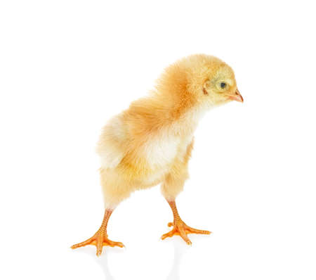 Small yellow chicken isolated on a white background