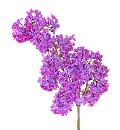 Lilac branch isolated on a white background. Beautiful spring flowers. Syringa vulgaris.