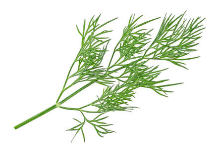 Fresh green twig of dill plant isolated on a white background