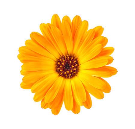 Marigold flower head isolated on a white background. Calendula flower.