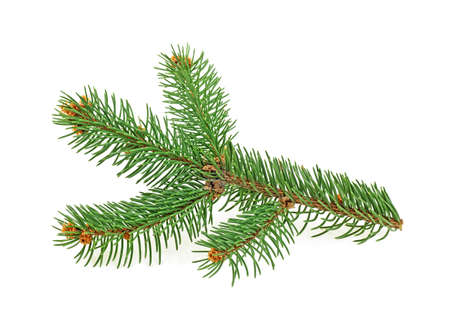 Branch of Christmas tree isolated on white background. Fir tree branch.
