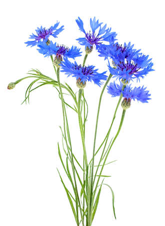 Bouquet of blue cornflowers isolated on a white background