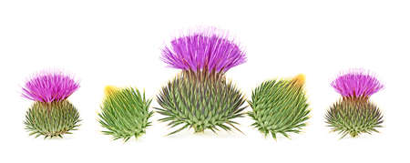 Milk thistle flower buds isolated on a white background Banco de Imagens