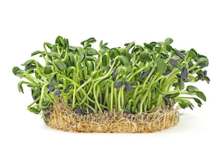 Young sprout microgreen isolated on white background. Sunflower sprouts. Healthy eating concept. Stock Photo