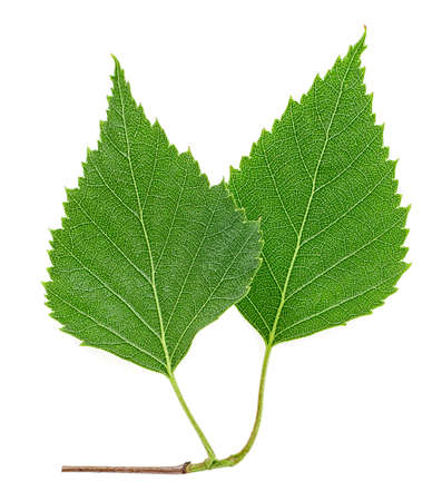 Two young birch leaves on branch, white background. Top view. Standard-Bild - 133908446